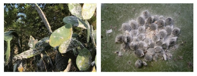 A la izquierda nopales infestados de cochinillas. Detalle a la derecha. Fuente: el autor y Wikipedia