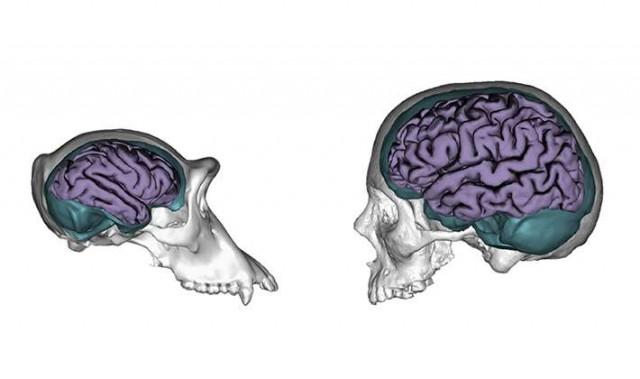 Comparación de los cerebros de chimpancé y humano. Imagen de Aida Gómez-Robles and José Manuel De La Cuétara.