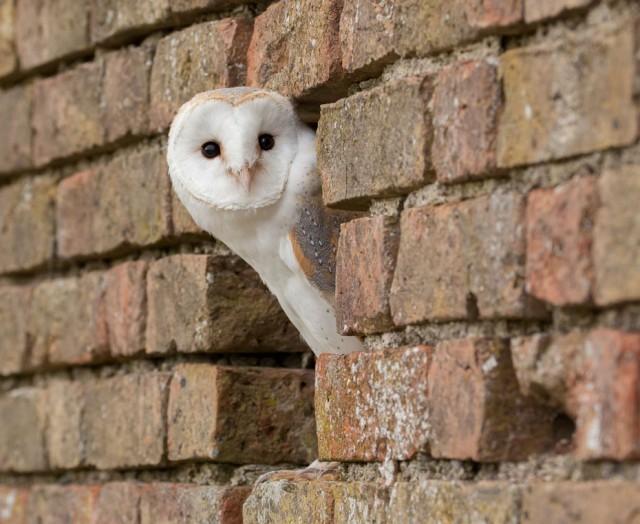 Lechuza en el hueco de una pared. Fuente