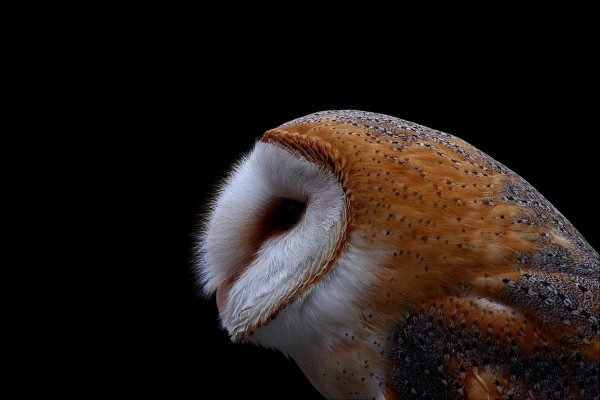 La mirada de una lechuza. Fuente