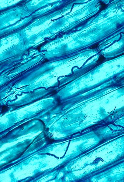 Crecimiento del hongo Neotyphodium entre las células de una festuca