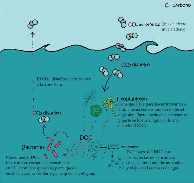 Transformación del carbono orgánico disuelto. Autora: Cristina Romera Castillo