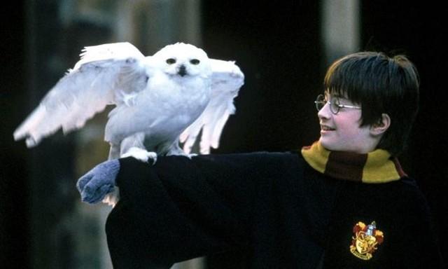 Hedwig no es una lechuza, sino un búho nival. Fuente