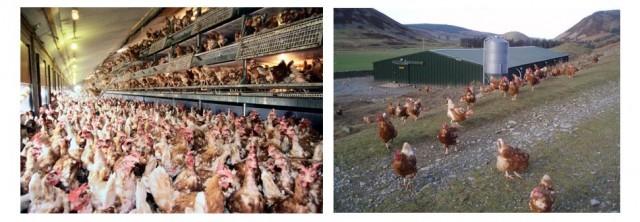 : Fotos de gallinas en distintos sistemas de producción libre de jaula o cage-free. En ellos pueden desarrollar mejor sus comportamientos, aunque establecer jerarquías puede llevarles a picarse entre sí o estar expuestas a predadores o parásitos. Fuente: Commons Wikipedia