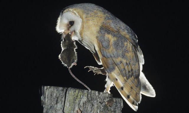 Lechuza comiéndose un ratón. Fuente
