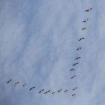 ¿Por qué los gansos vuelan en formación de V y las palomas no?
