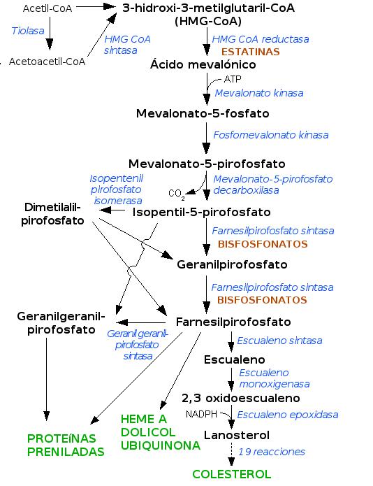 Esquema simplificado de la síntesis de colesterol y otros lípidos a partir de Acetil-CoA. Las estatinas inhiben la acción de la enzima HMG-CoA reductasa, impidiendo la síntesis de colesterol y otros esteroles.