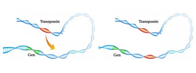 El fragmento de ADN en rojo se copia y pega en otra posición del genoma