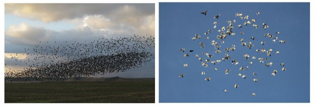 Bandadas de estornino (izda.) y palomas (dcha.) que no adoptan la disposición en V