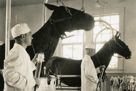 Inoculación de toxina diftérica a equinos para que éstos sinteticen anticuerpos. Fuente: National Museum of American History