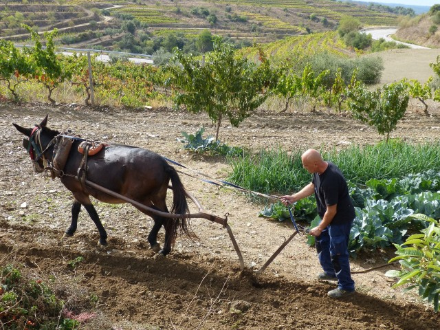 Mula en labores de arado