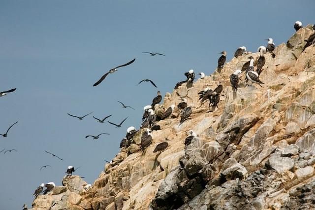 Aves marinas, sus excrementos o guano son ideales para la agricultura