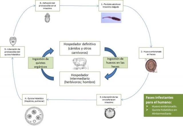 Ciclo biológico de la hidatidosis