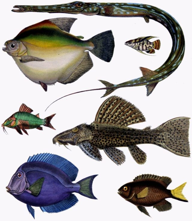 F_de_Castelnau-poissons_-_Diversity_of_Fishes_Composite_Image-640x738