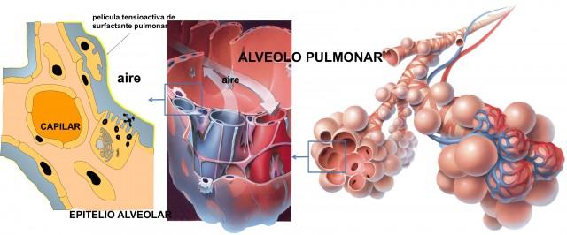 El surfactante pulmonar forma una fina película de lípidos y proteínas que reduce la tensión superficial en los espacios alveolares
