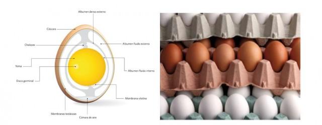 A la izquierda, estructura interna del huevo. A la derecha huevos blancos (sin pigmento) y huevos morenos (pigmentados con protoporfirina IX). Fuente: El gran libro del huevo editado por Instituto de Estudios del Huevo – www.institutohuevo.com (el libro puede descargarse en este link)
