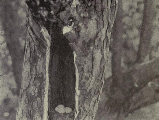 Huevos de pájaro carpintero (Colaptes auratus) ocultos en el hueco de un árbol. Al no ser visibles desde el exterior el ave ahorra pigmento y son de color blanco