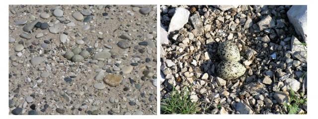 Huevos de frailecillo silbador (Charadrius melodus) puestos sobre pedregales a la izquierda. Puesta de chorlitejo colirrojo (Charadrius vociferous) a la derecha. La coloración de la cáscara les sirve de camuflaje. Fuente: National Park Service US y Commons