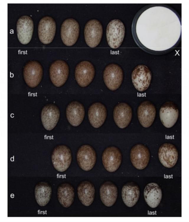 Huevos de la misma puesta de distintas especies de gorrión. Obsérvese cómo no todos tienen la misma coloración. El último (derecha) tiene la cáscara más clara. En ocasiones, el primero (izquierda) también presenta un tono más claro. Fuente: Polácek et al.