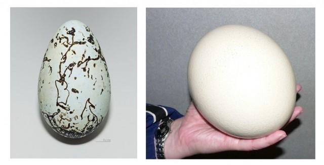 A la izquierda huevo asimétrico de arao común (Uria aalge) y a la derecha huevo esférico de avestruz (Struthio camelus)