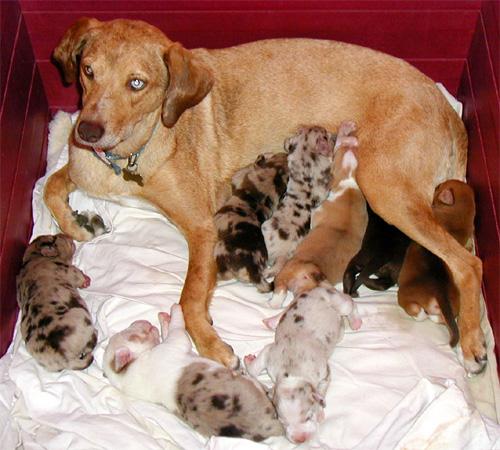 Cachorros de aspecto muy variado en una misma camada. Fuente: Commons wikipedia