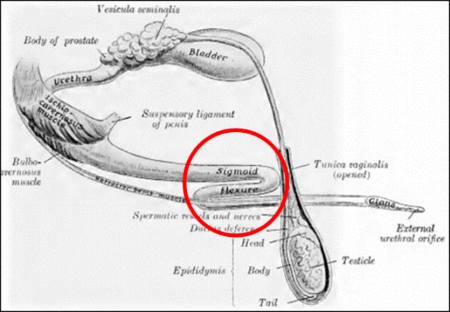 Dibujo de pene de toro en reposo. En erección el pene se elonga y desaparece la flexión en forma de S que vemos en el círculo rojo, pero la rigidez no varía. Fuente: Sisson, Anatomy of domestic animals
