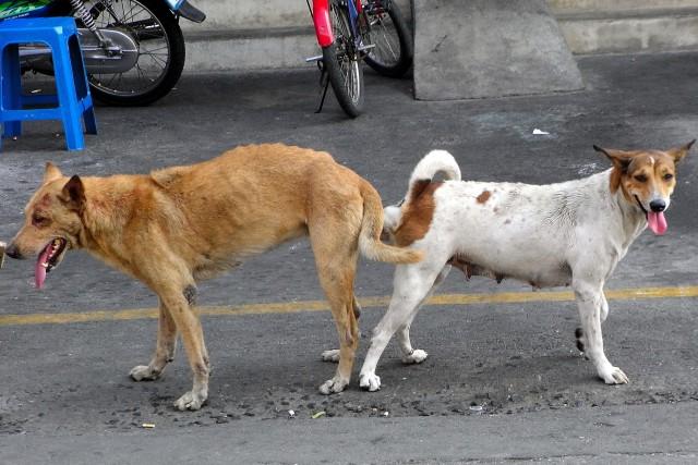 Perros callejeros entrelazados tras la cópula en lo que se denomina abotonamiento. Fuente: Commons Wikipedia