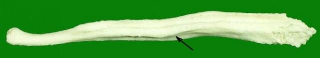 hueso peneano de perro. Fuente Wikicommons