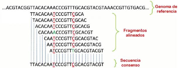Un ejemplo de puzle de ADN. Arriba, el genoma de referencia (modelo). A continuación, los fragmentos leídos por el secuenciador, alineados (superpuestos) al modelo. Fijémonos en que en algunas columnas hay letras distintas. Abajo, la secuencia consenso, que no coincide con el genoma de referencia en algunas letras.