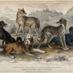 Los lobos se convirtieron en perros: ¿Dónde, cuándo y… cuantas veces?