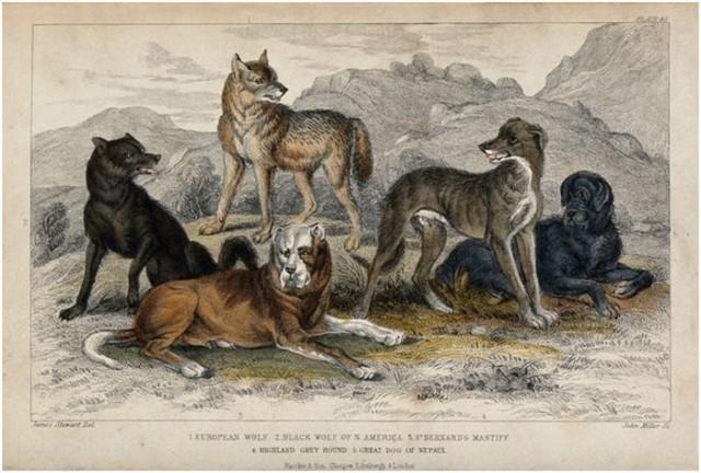 Antiguos lobos del Oeste | imagen Wikipedia CC