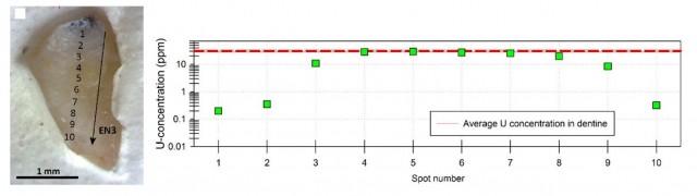 Izquierda: fragmento de esmalte datado. Se pueden ver los puntos de análisis uranio-torio por ablación laser (numerados de 1 a 10). Derecha: evolución de la concentración en uranio según el punto de ablación (Spot number). Se observa que entre los puntos 3 y 9 los valores son muy similares a lo medido en la dentina (línea horizontal roja), indicando entonces presencia de dentina en el esmalte.