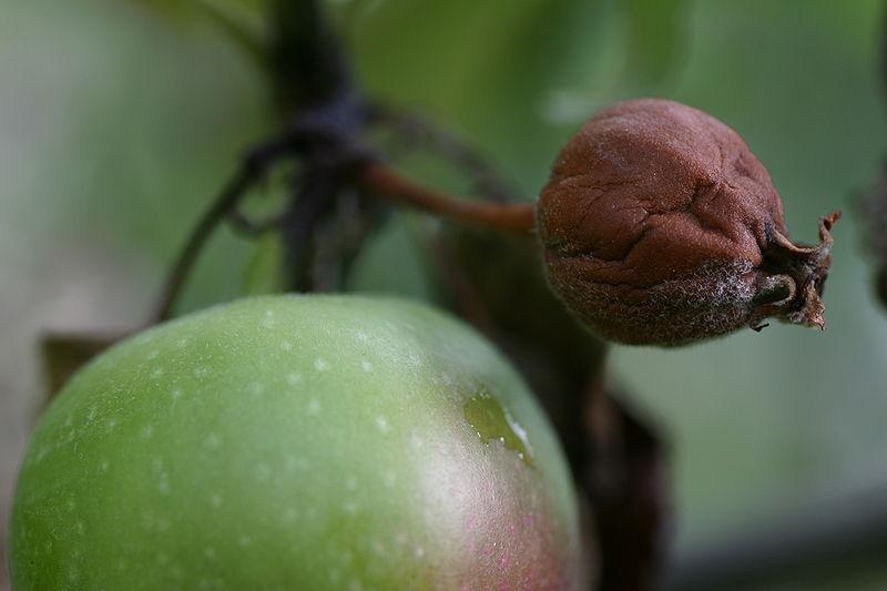 Flor-de-manzano-destruida-por-el-fuego-bacteriano-y-fruto-con-exudados-tipicos-de-la-enfermedad