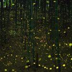 """Los insectos que no pagan """"la luz"""": las luciérnagas"""
