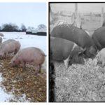 El ganado y su función recicladora: De la capilla Sixtina al Jamón de Parma