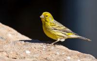 El canario: De las islas a las cortes: Un pionero de la modificación genética