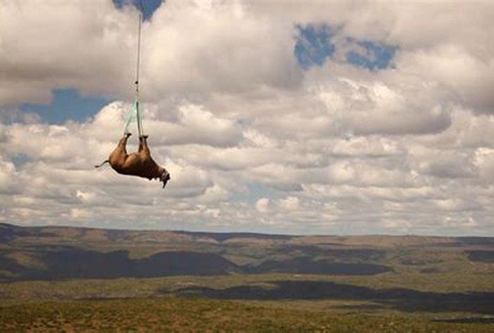 ¿Por qué hay que transportar a los rinocerontes boca arriba y a las tortugas boca abajo?